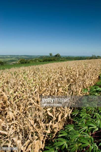 soybean and corn - realeza bildbanksfoton och bilder