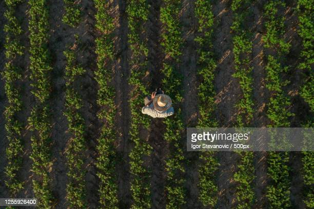 soybean farmer with drone remote controller in field, novi sad, serbia - スマート農業 ストックフォトと画像