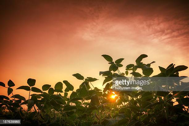 soybean feald and the red sunset - crop plant stock pictures, royalty-free photos & images