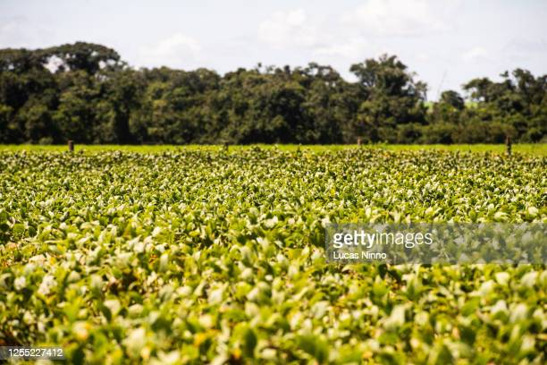 soybean field and protected forest area - cerrado stock pictures, royalty-free photos & images