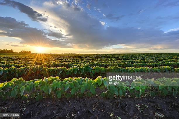 soybean field at sunrise. - minnesota bildbanksfoton och bilder