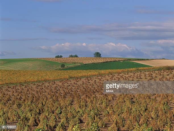 Soybean field, Hokkaido, Japan