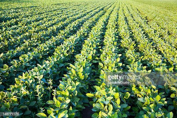campo di soia - fagiolo di soia foto e immagini stock