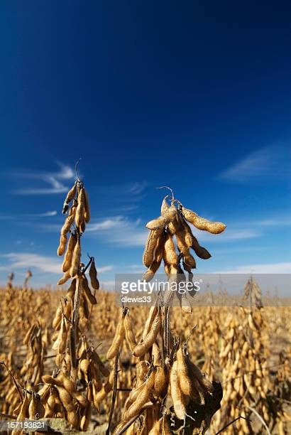 soybean field ready for harvest - soybean harvest stock pictures, royalty-free photos & images