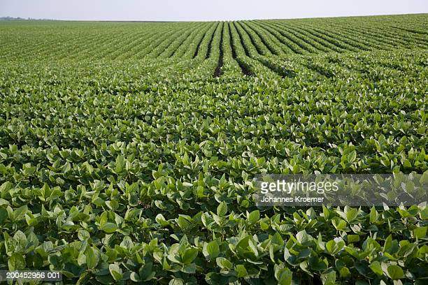 soybean field, summer - plantation stock pictures, royalty-free photos & images