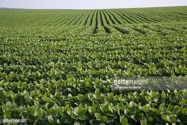 soybean field, summer - プランテーション ストックフォトと画像