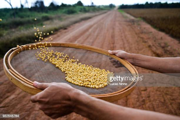 soybean grains 01 - soybean harvest stock pictures, royalty-free photos & images