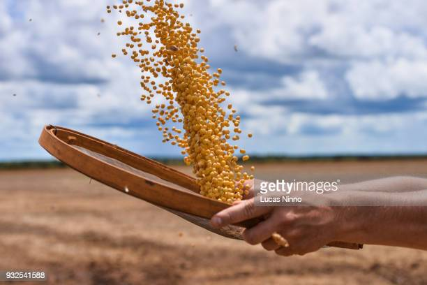 soybean grains - soybean harvest stock pictures, royalty-free photos & images