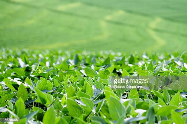 soybean - crop plant stock pictures, royalty-free photos & images