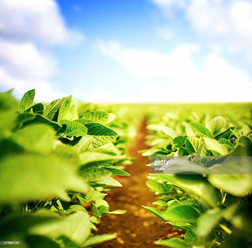 Plantas de soja : Foto de stock