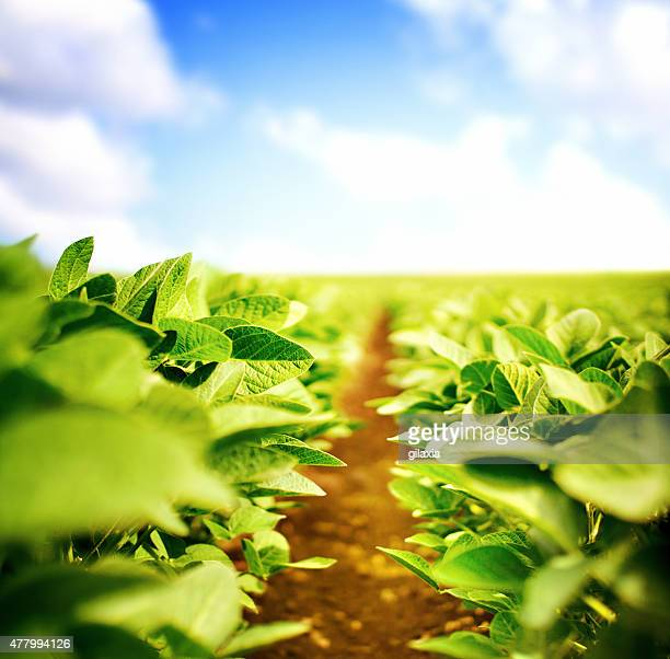 soybean plants - soybean stock pictures, royalty-free photos & images