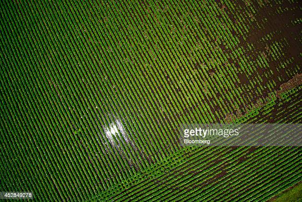 Soybean plants stand in a flooded field near Wyanet Illinois US on Tuesday July 1 2014 A powerful wind storm known as a derecho swept from the...