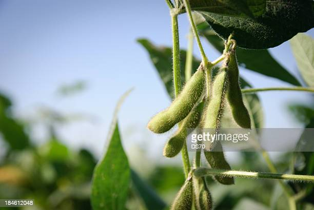 soybean pods and leaves - crop plant stock pictures, royalty-free photos & images