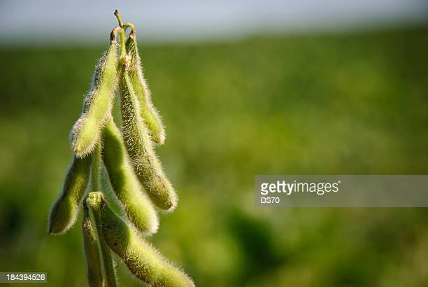 soybean pods - soybean stock pictures, royalty-free photos & images