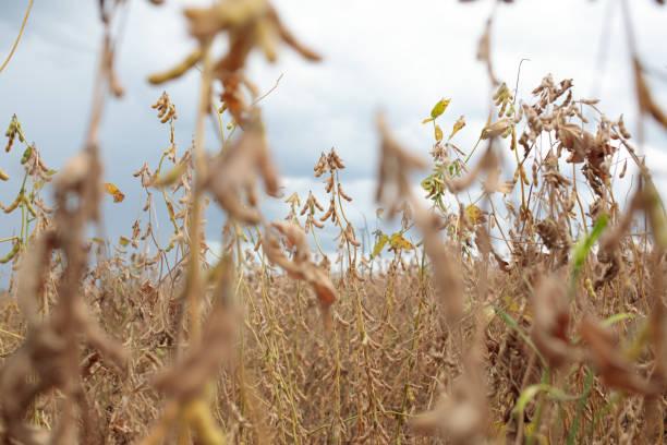 BRA: A Soybean Harvest As Delays Hamper Shipments