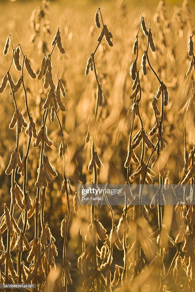 Soybeans in field : Foto stock