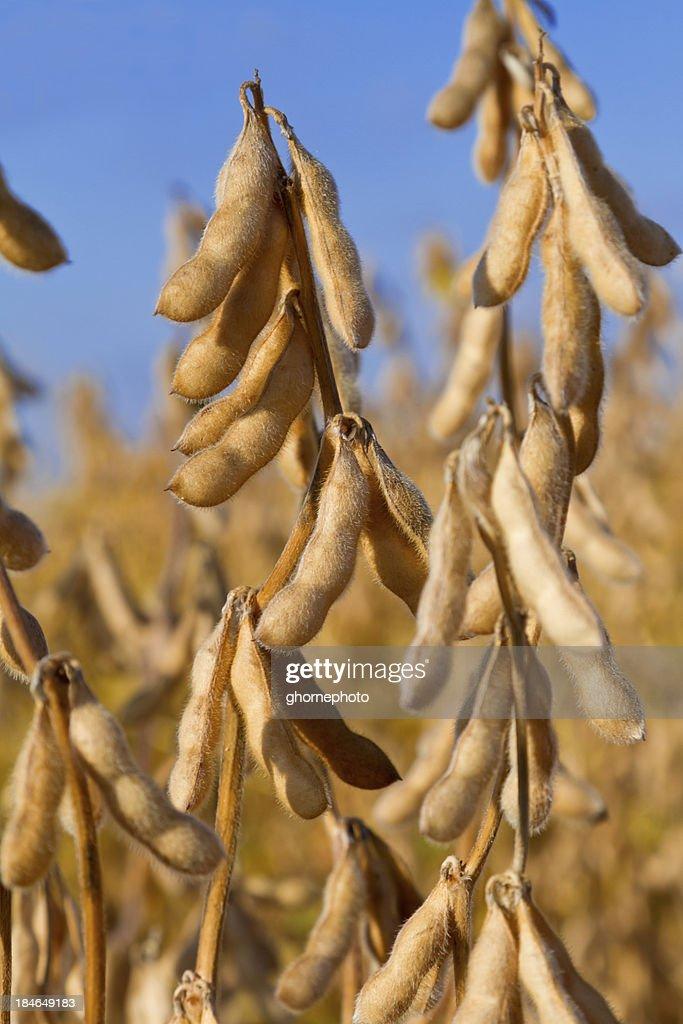 Soia pronto per il raccolto : Foto stock