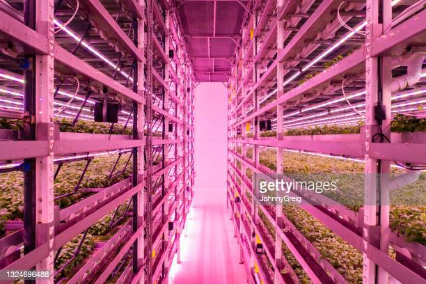 space-saving racks of basil plants growing in vertical farm - innovation stock pictures, royalty-free photos & images