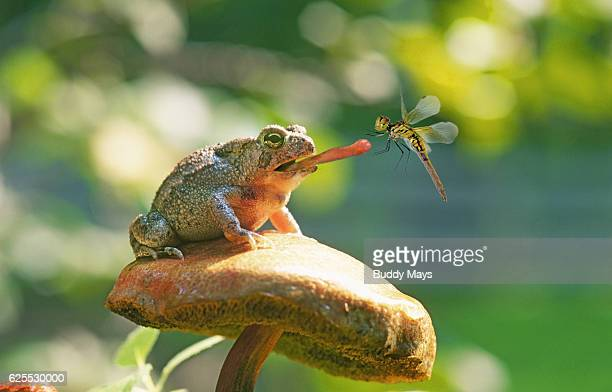 Spadefoot Toad catching dragonfly