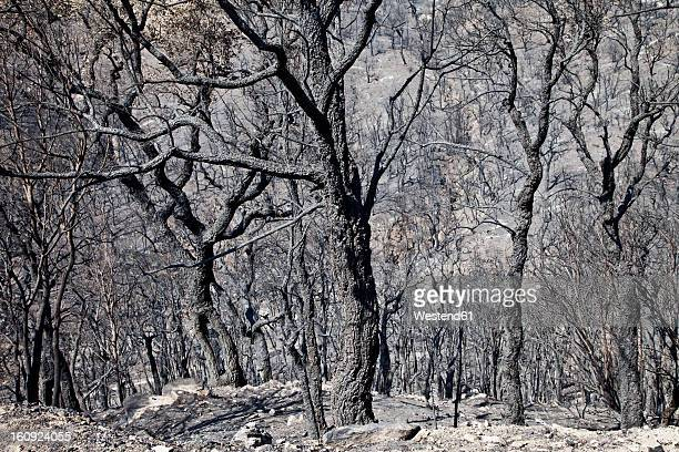 Spain, Agullana, Burned trees after forest fire