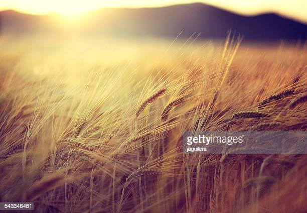 spain, andalusia, loja, field at sunset - barley stock pictures, royalty-free photos & images