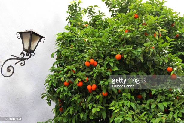 spain, andalusia, málaga province, marbella, orange tree in the old town - マルベーリャ ストックフォトと画像