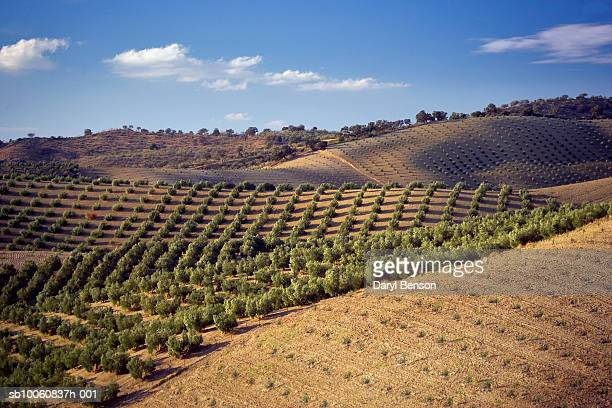 spain, andalusia, olive orchards - westeuropa stock-fotos und bilder