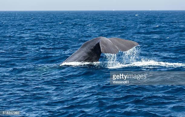Spain, Andalusia, Tarifa, Sperm whale, Physeter macrocephalus