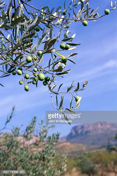 Spain, Aragon, Riglos, olive tree branch in foreground