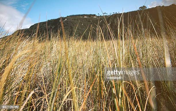spain, asturias, low angle of tall herbs in a meadow with mountains in the background - haut photos et images de collection