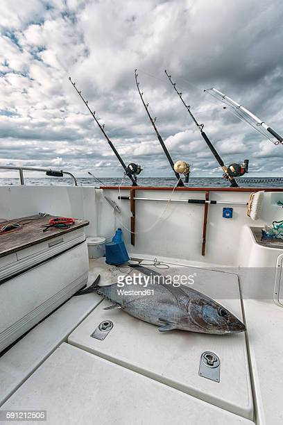 Spain, Asturias, Tuna on fishing boat