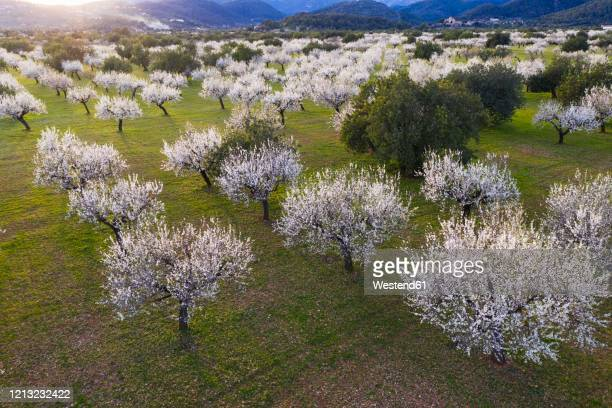 spain, balearic islands, bunyola, aerial view of almond trees in springtime orchard of serradetramuntana - almendro fotografías e imágenes de stock