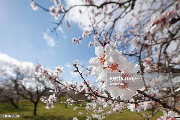 Spain, Balearic Islands, Majorca, Blossoms of almond tree