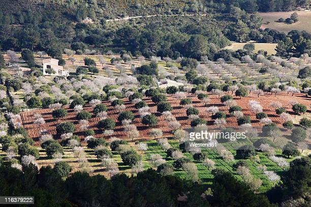 Spain, Balearic Islands, Majorca, Felanitx, Blossoming almond trees and other trees from castell de santueri