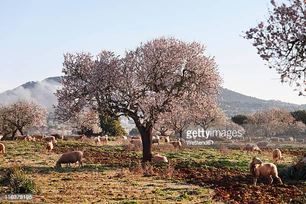 spain, balearic islands, majorca, santanyi, blossoming almond trees (prunus dulcis) with sheep - almendro fotografías e imágenes de stock