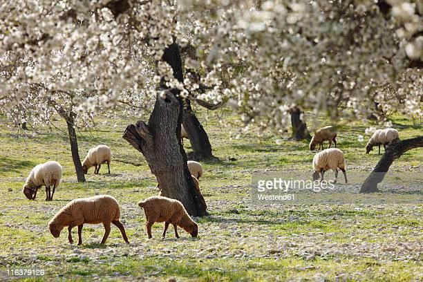 Spain, Balearic Islands, Majorca, Sheep grazing at blooming almond trees