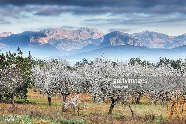 spain, balearic islands, majorca, view of almond trees with mountains in background - almendro fotografías e imágenes de stock