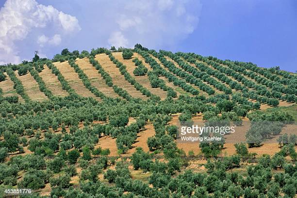 Spain Between Malaga And Grenada Olive Tree Plantation