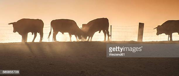 Spain, bulls standing on a pasture at backlight