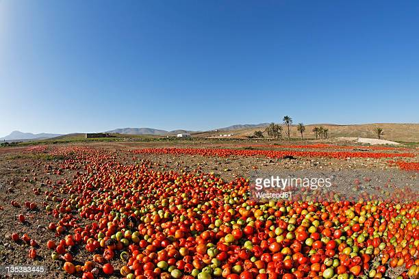 Spain, Canary Islands, Fuerteventura, Landscape with tomatoes near Tuineje
