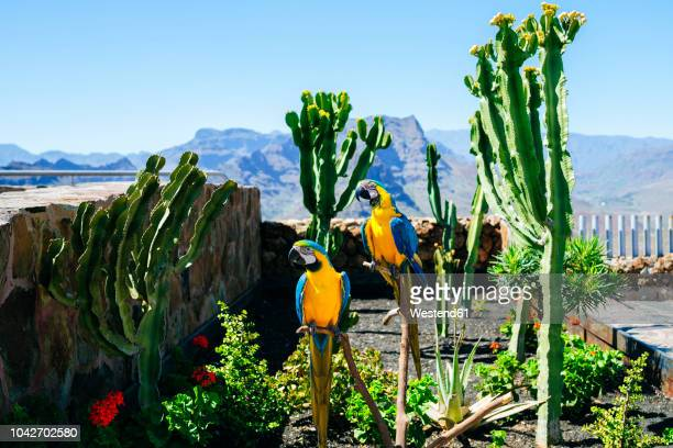 spain, canary islands, gran canaria, couple of parrots, blue-and-yellow aras - grand canary stock pictures, royalty-free photos & images