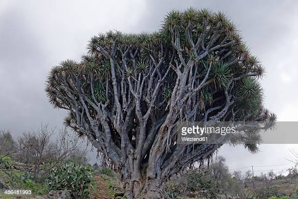 Spain, Canary Islands, La Palma, Dragon Tree