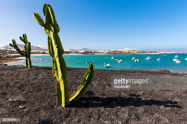 spain, canary islands, lanzarote, cactuses at costa teguise - lanzarote stock pictures, royalty-free photos & images