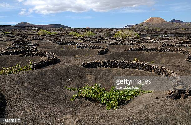 Spain Canary Islands Lanzarote La Geria wine producing area Shallow crater with semi circular wall of volcanic rocks called a zoco which gives...