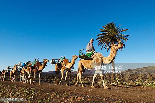 spain, canary islands, lanzarote, parque nacional de timanfaya, man with camels - timanfaya national park stock pictures, royalty-free photos & images