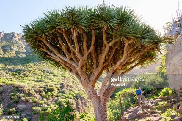Spain, Canary islands, Tenerife, Canary Islands Dragon Tree