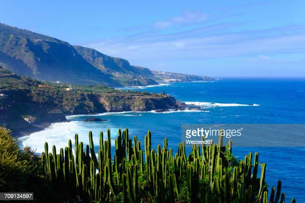 spain, canary islands, tenerife, los realejos, punta del guindaste, canary island spurge - tenerife stock pictures, royalty-free photos & images