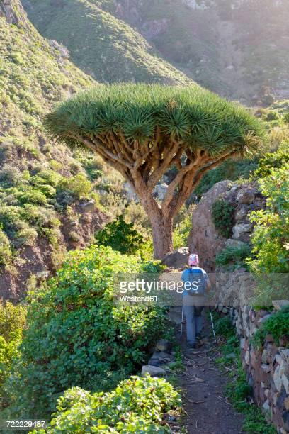 Spain, Canary islands, Tenerife, woman on hiking trail, Canary Islands Dragon Tree