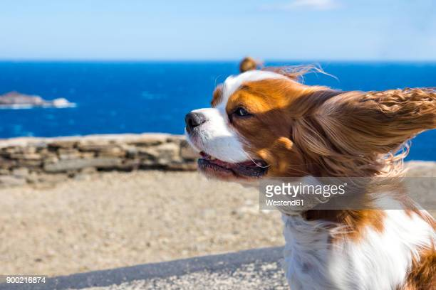 spain, catalonia, costa brava, cap de creus, cadaques, cavalier king charles spaniel in wind - cavalier king charles spaniel stock pictures, royalty-free photos & images