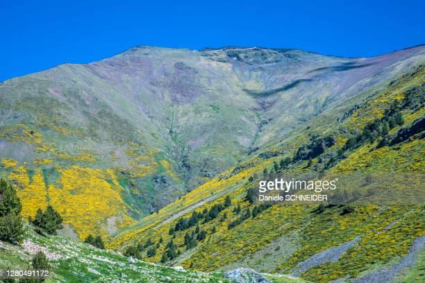 spain, catalonia, pyrenees, comarque of ripolles, vall de nuria, mountain with patches of spanish broom (spartium junceum) - ピレネー ストックフォトと画像
